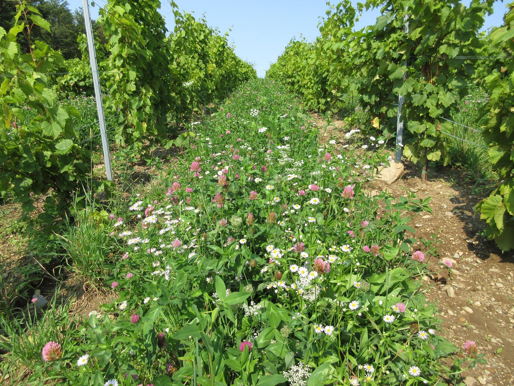 E71-Flower-cover-middle-row-in-Quebec-vineyards-(Lasnier)